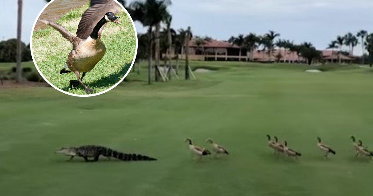 untitled design 8 2.png?resize=300,169 - Des oies en colère qui pourchassent un alligator sur un parcours de golf interrompent le match