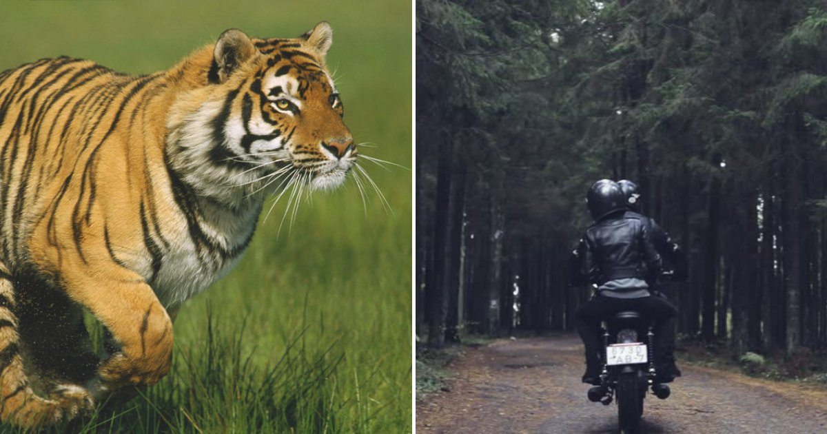 untitled design 90.png?resize=412,232 - Large Tiger Caught On Camera Running After Terrified Bikers