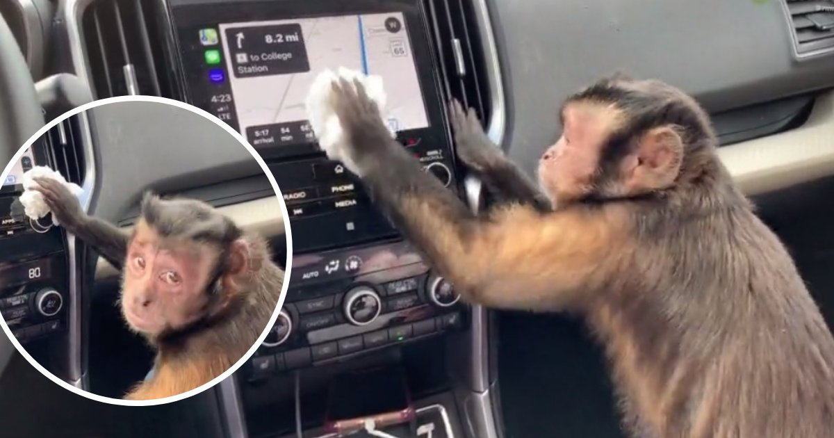 untitled design 94.png?resize=1200,630 - Hardworking Capuchin Monkey Caught On Camera Cleaning Owner's Car