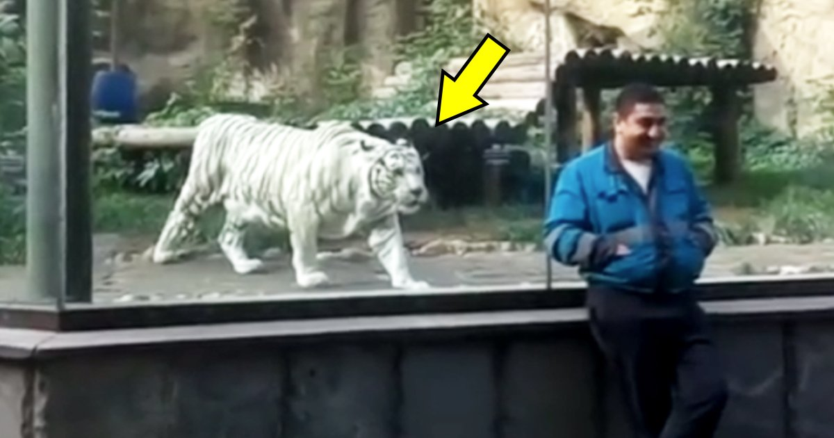 vvvv 1.jpg?resize=412,232 - This Man Stood Near The Glass Cage Of A White Tiger, And The Tiger Tried To Attack At Him