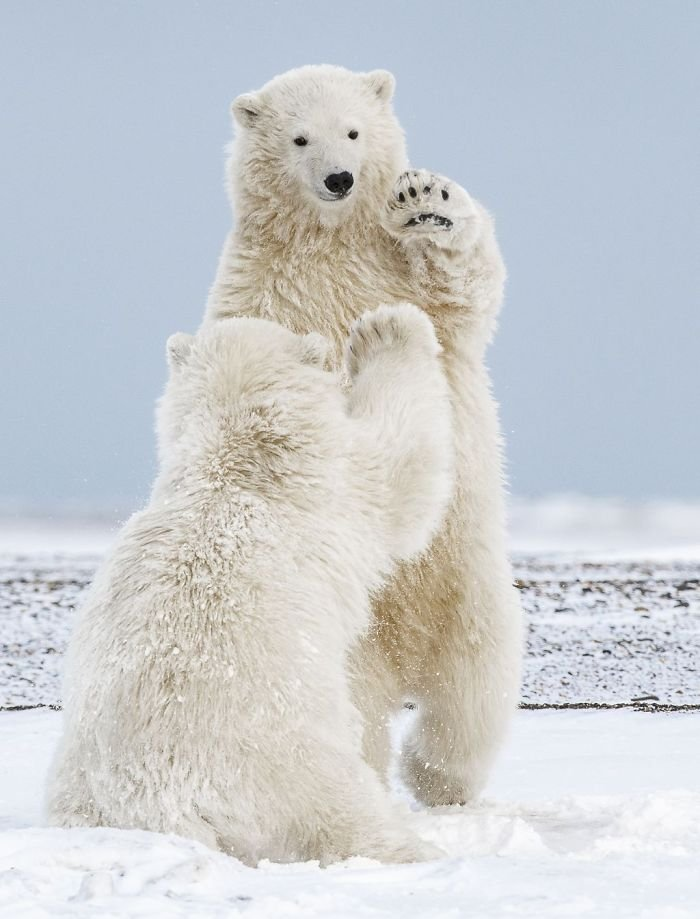 Hi-Five Polar Bear Cubs, Michelle Theall,nature