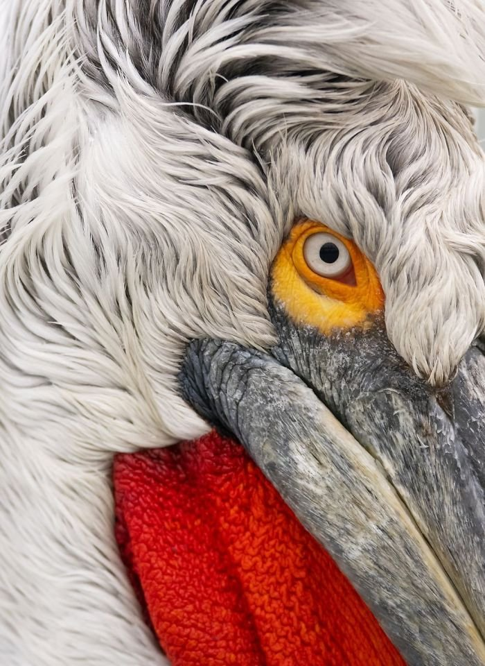 Close Up Of The Dalmatian Pelican, Damilice Mansur, Nature
