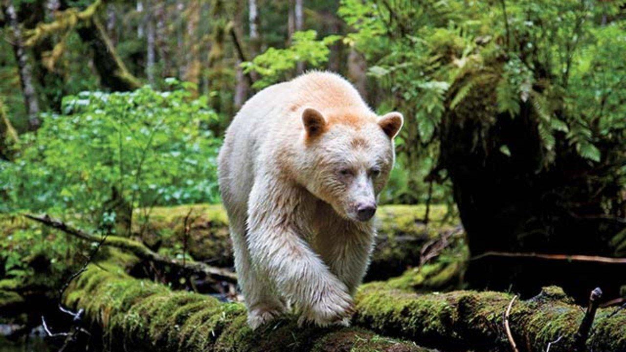 Resultado de imagen de osos espiritu
