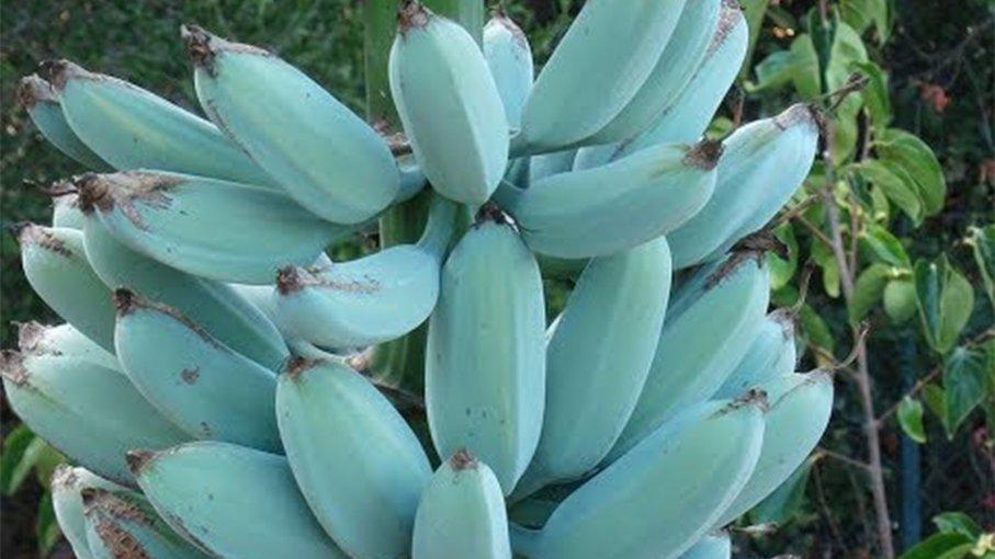 """Resultado de imagen de Banana """"Blue Java"""