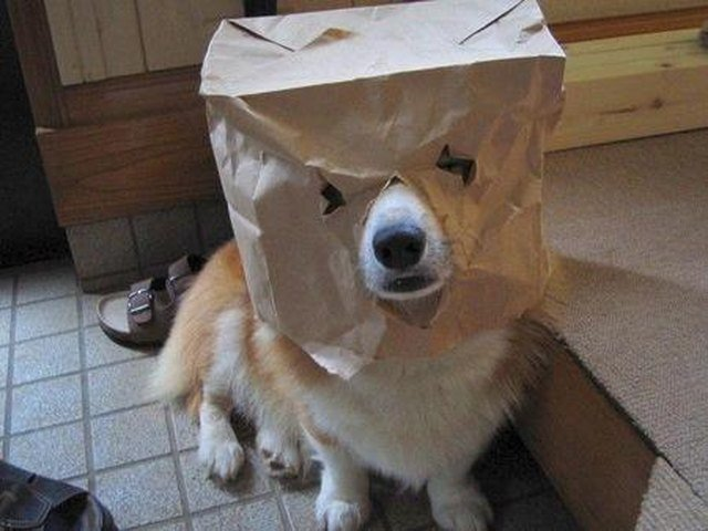 Corgi wearing a paper bag with eyes and snout hole