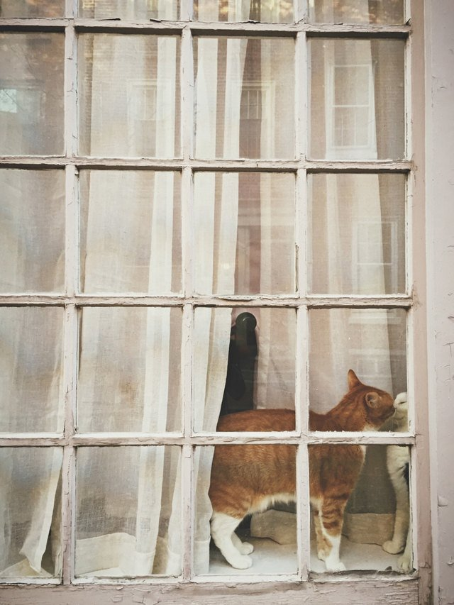 Two cats kissing in a window.