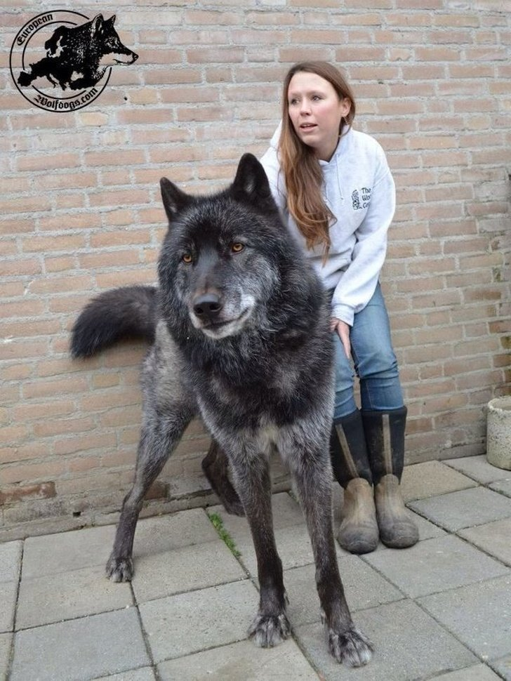 17 Gorgeous Wolfdogs We Want to Hug and Never Let Go