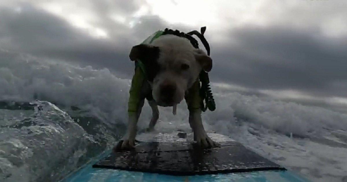 """5 41.jpg?resize=412,232 - """"서핑 타는 강아지를 아시나요?"""" 보는 이들을 시원하게 만드는 강아지 (영상)"""