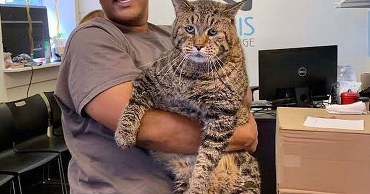 a 26 pound cat became internet celebrity when animal shelter posted about his adoption.jpg?resize=1200,630 - A 26-Pound Cat Became An Internet Celebrity When The Animal Shelter Shared A Photo Of Him To Get Him Adopted