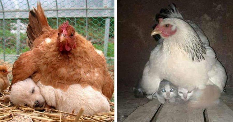 a6 4.jpg?resize=1200,630 - 15 Fotos provando que as galinhas estão entre as melhores mães do reino animal