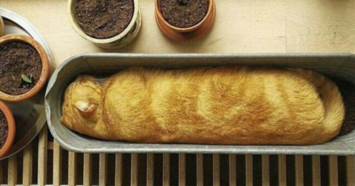 bread cat.png?resize=1200,630 - 20 Cats Who Could Be Mistaken As Loaves Of Bread