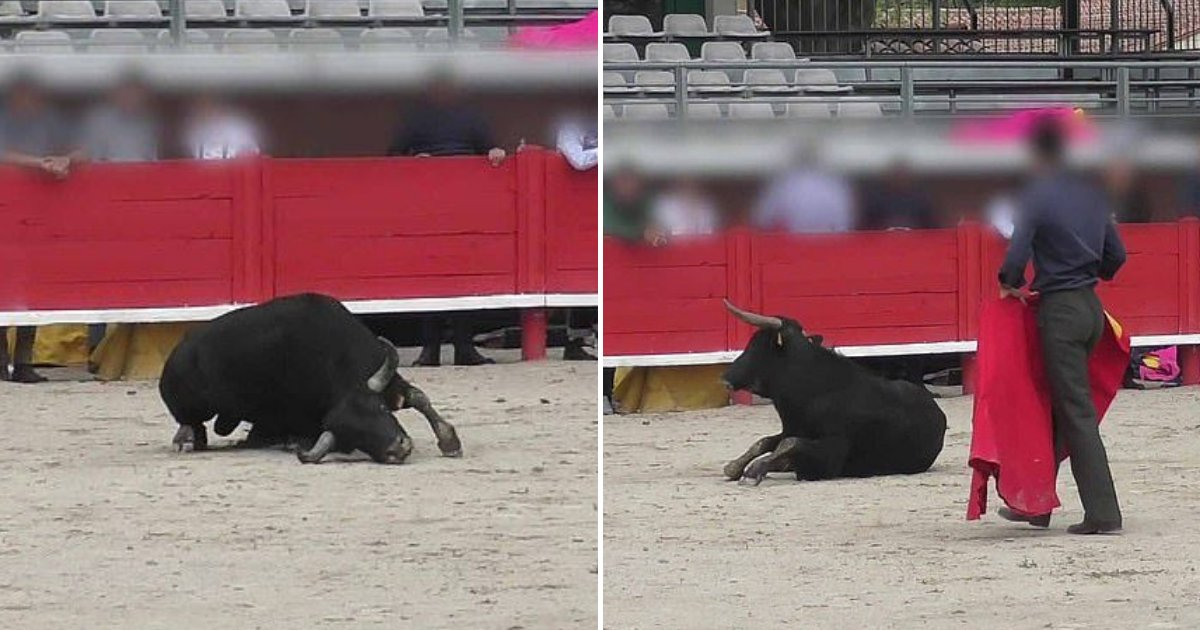 bull5.png?resize=412,232 - A Young Bull Collapses From Exhaustion After Bullfighting School Used It For A Practice Fight