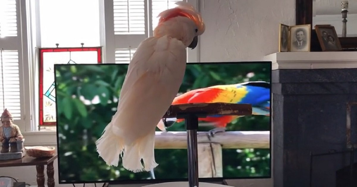 c3 4.jpg?resize=412,232 - Cockatoo Showed How Much She Enjoys The Nature Show She's Watching By Barking