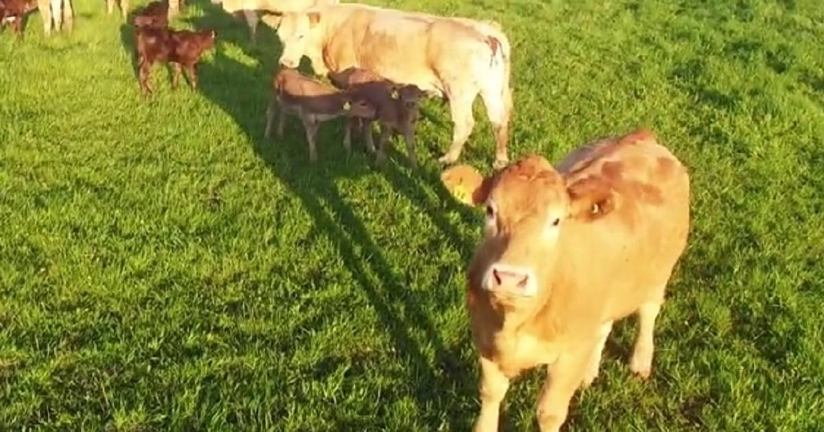 c3 5.jpg?resize=412,232 - A Curious Cow Was Baffled By A Drone Flying Over The Farm And Approached It Without Fear