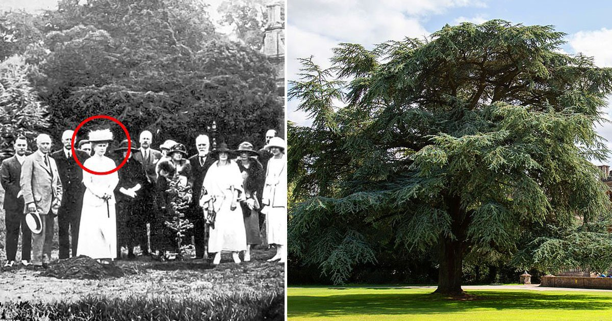 cedar tree queen mary.jpg?resize=412,232 - Cedar Tree Stands Tall Nearly 100 Years After Planted By Queen Mary