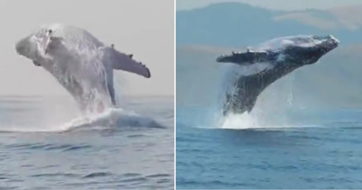 d 2 9.png?resize=412,232 - A Humpback Whale Spotted While Jumping Out of the Water