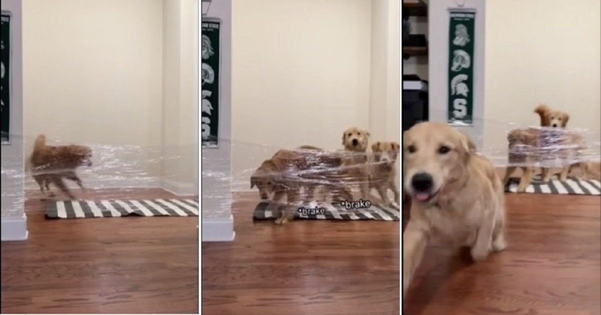 d4.jpg?resize=412,232 - The 'Invisible Challenge' Was Too Easy For This Golden Retriever