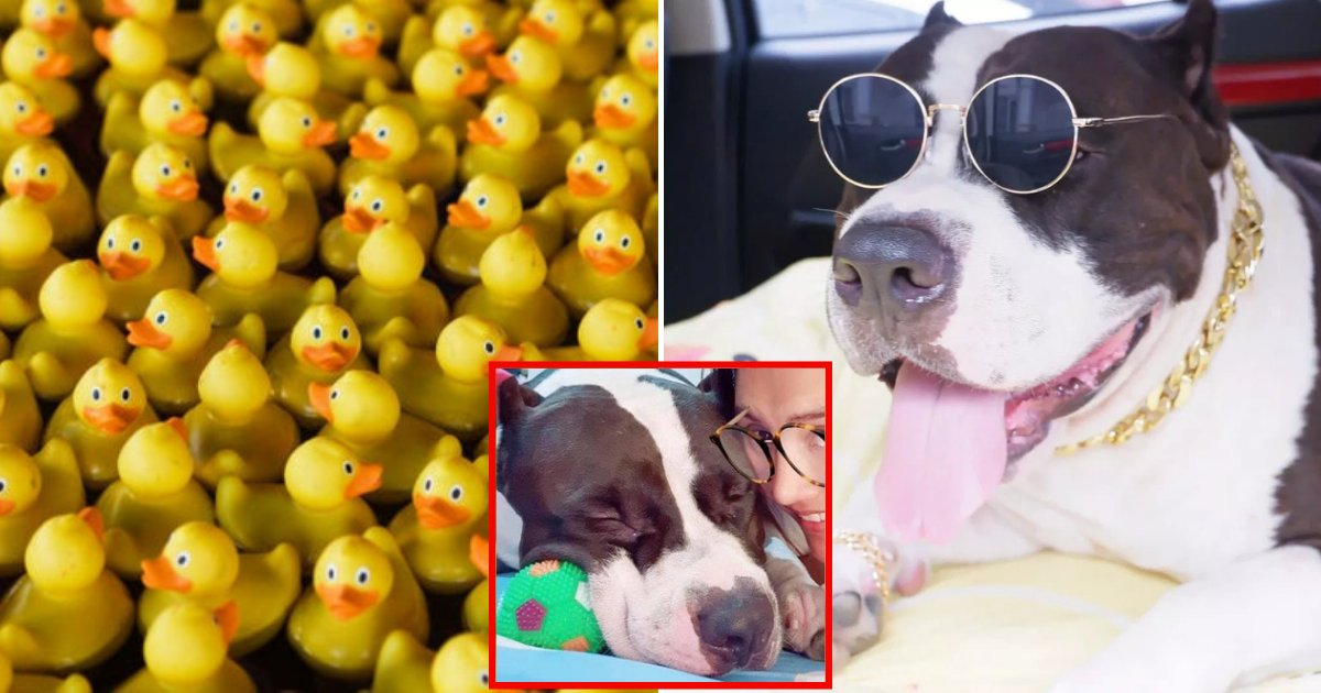 ducks6.png?resize=366,290 - Woman Rushed 2-Year-Old Bulldog To Vet And Discovered Her Dog Has More Than 30 Rubber Duck Toys In His Belly!