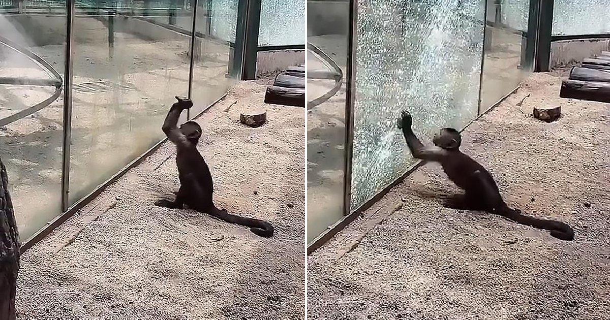 eca09cebaaa9 ec9786ec9d8c 105.png?resize=412,275 - 「かわいそう…」息苦しさのあまりガラス壁を壊した動物園の猿(写真あり)
