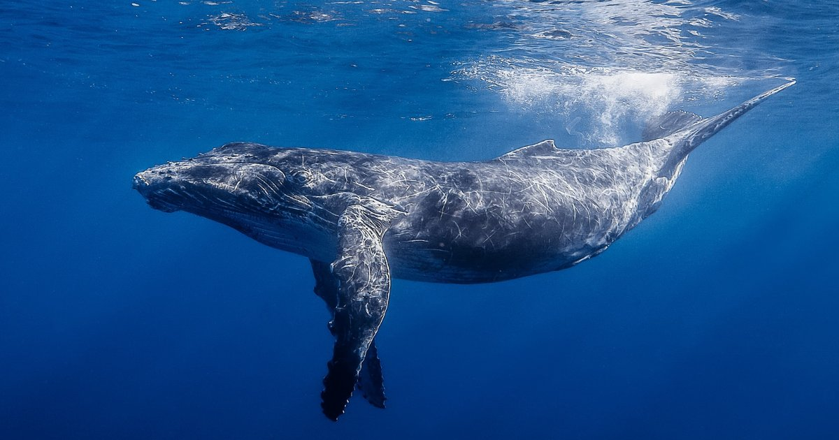 featured image 10.png?resize=412,232 - A Compassionate Humpback Slowed Down At An Unbelievable Pace To Avoid Hitting A Swimmer