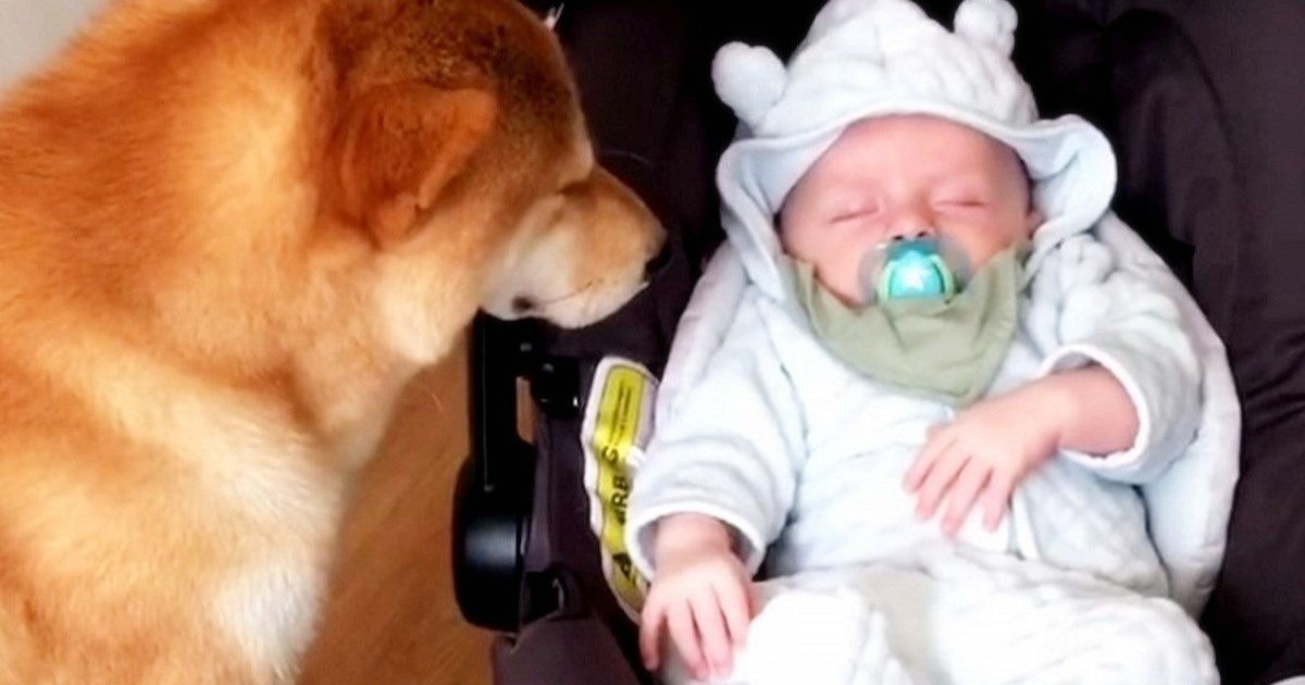 featured image 12.jpg?resize=412,232 - This Shiba Inu Is The Best Babysitter In The World