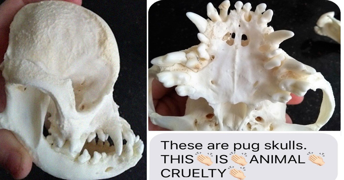 featured image 19.jpg?resize=412,275 - A Man Sent Skull Pictures To Stop His Friend From Getting A Purebred Pug