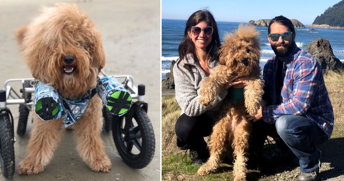 josh the doodle.jpg?resize=412,232 - Disabled Goldendoodle Living His Best Life With His Owners Who Never Gave Up On Him