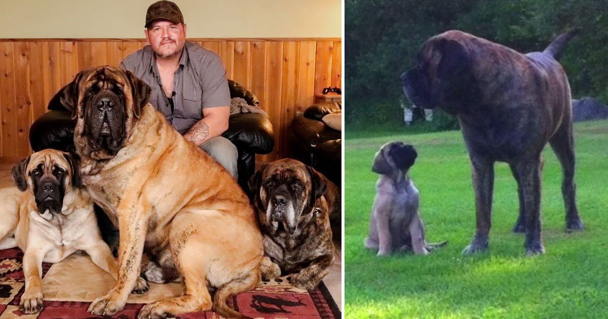 mastiffs.jpg?resize=412,232 - Man Lives With His Three Giant English Mastiffs Weighing A Combined 630lbs