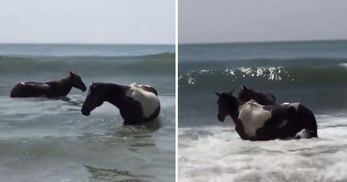 ponies hit beach.jpg?resize=300,169 - Des dizaines de poneys ont traversé un canal sur la côte Est de l'États de Virginie aux États-Unis