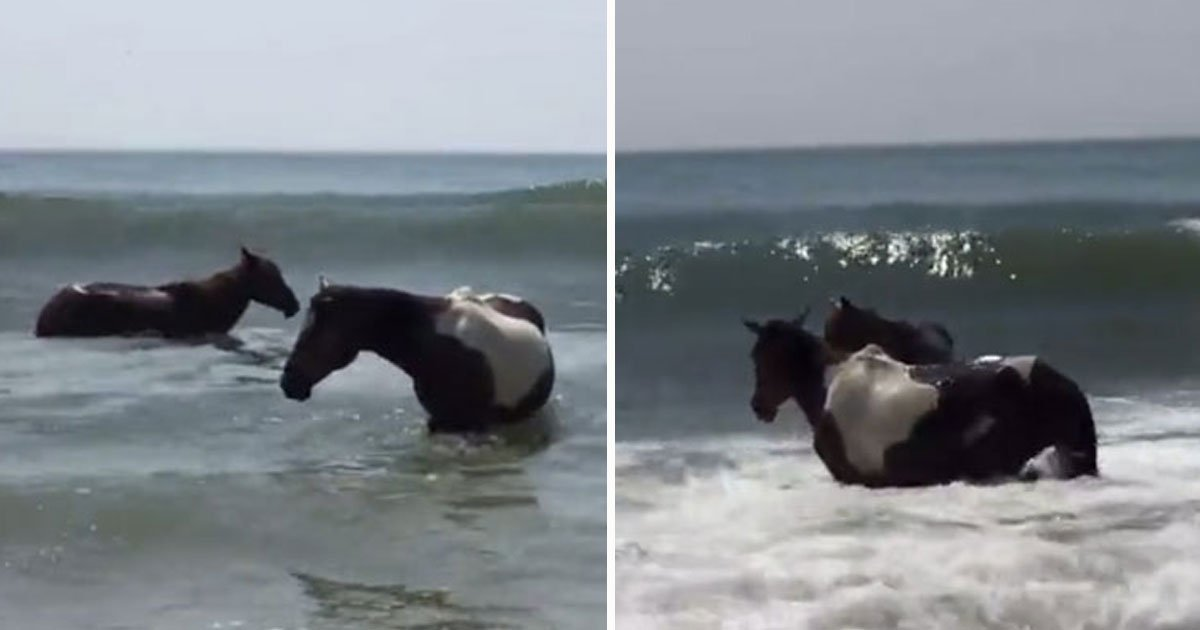 ponies hit beach.jpg?resize=412,232 - Dozens Of Ponies Swam Across A Channel On Virginia's Eastern Shore