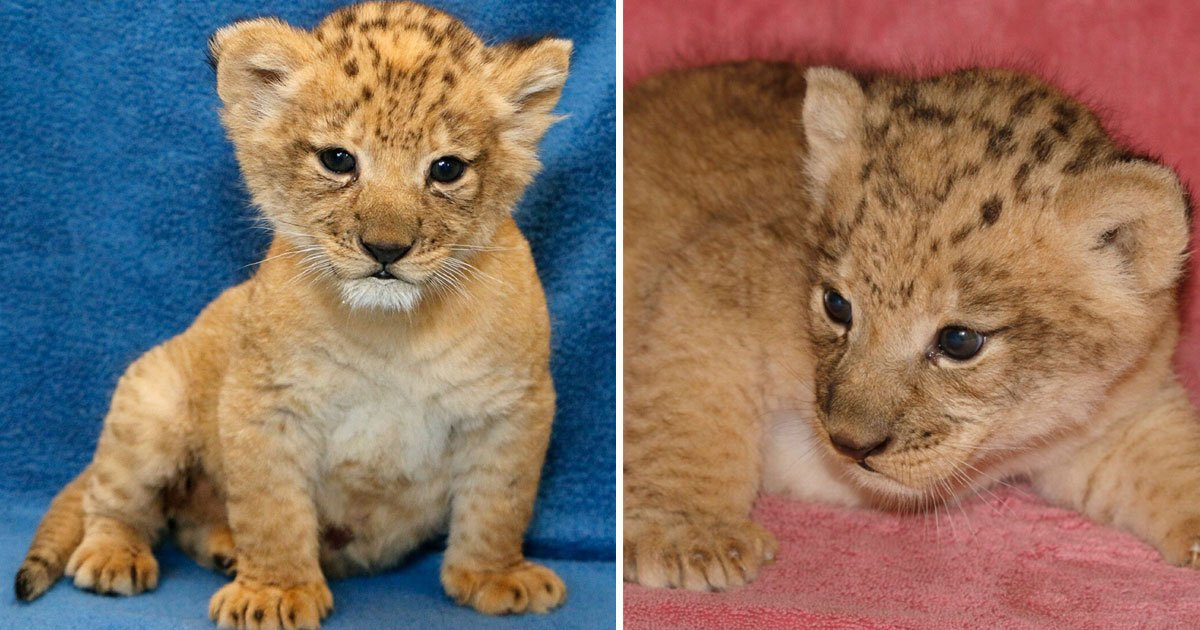 real life simba.jpg?resize=412,232 - The Real Cub Who Was Used To Create The Lion King's Simba