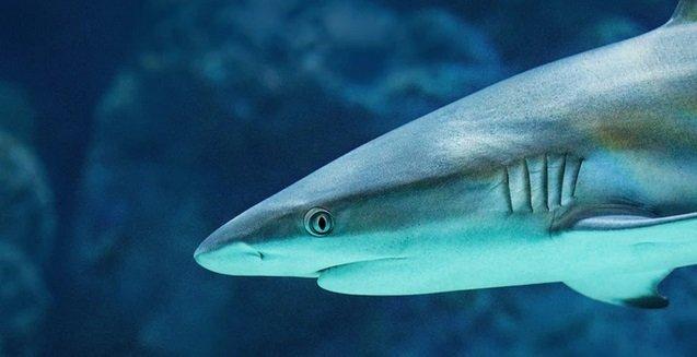requin.jpg?resize=300,169 - Une plage évacuée à Arcachon à cause de la présence d'un requin