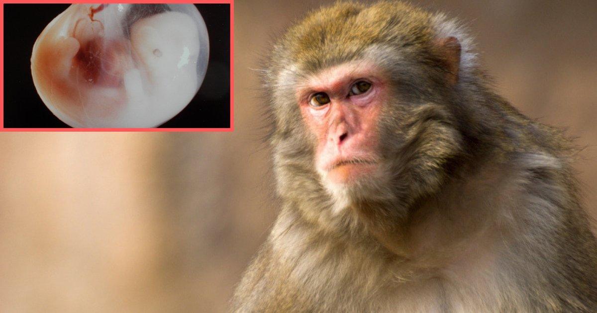s4 5.png?resize=412,232 - Le premier hybride de humain/singe créé par un scientifique