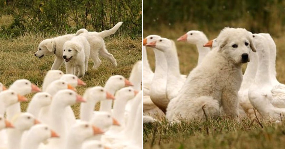 sheepdogs5.png?resize=412,232 - Adorable Sheepdogs, Nala And Lula, Guard Their Flock Of Geese And Chickens
