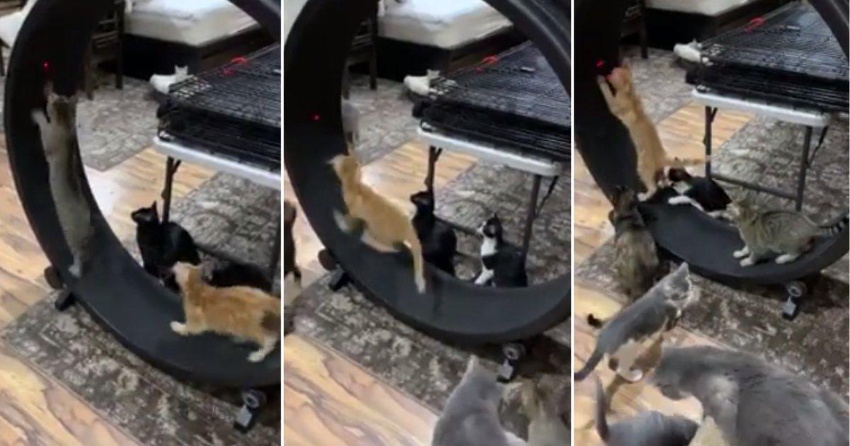 t 2.png?resize=300,169 - Vidéo : Des petits chatons découvrent une immense roue de hamster et ils en sont dingues