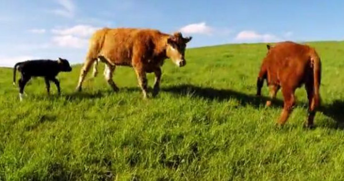 thumbnail 2.png?resize=412,232 - A Cow Makes The Cameraman Stay Away From Her Calf