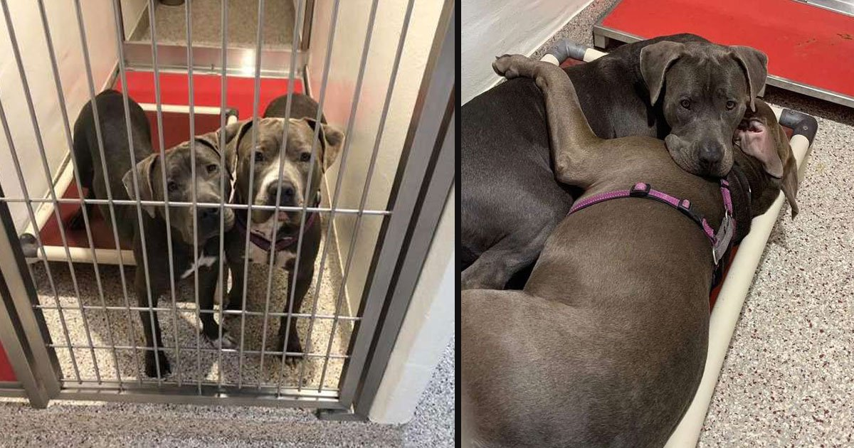 untitled 1 16.jpg?resize=412,232 - Two Pit Bulls Bonded At First Sight And Comfort Each Other At The Animal Shelter