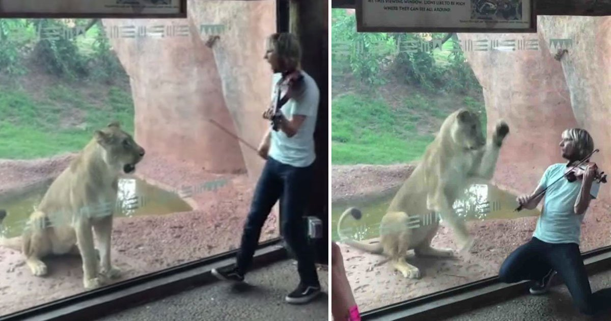 violonist lioness angry.jpg?resize=412,232 - Violinist Tried To Serenade A Lioness At Oklahoma Zoo, But Failed