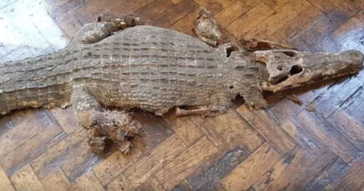 wales news service.jpg?resize=412,232 - Builders Discovered Remains Of A Crocodile Underneath The Floorboards Of A School