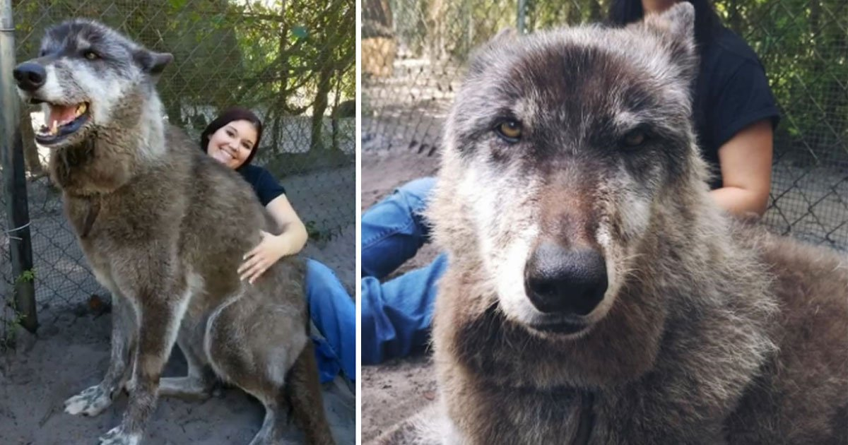 wolf dog yuki.jpg?resize=1200,630 - Giant Wolf Dog Named Yuki Is The Real-Life Game Of Thrones Dire Wolf