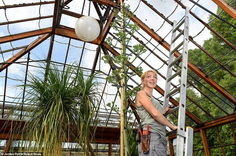 Glasshouse assistant Barbara Griffith is tending the agave in Cambridge University Botanic Garden, pictured, as it about to flower after spending the past 60 years lying dormant