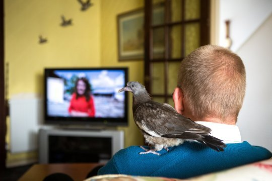 Retired man Mike Roberts, 61, and his pigeon Fred watching TV. Mr. Roberts found Fred after he fell out of his nest as a baby and Mike has been hand rearing him ever since. Swindon, Wiltshire. October 1 2018 . See story SWBRpigeon .A retired man has ended up as mum to an abandoned pigeon chick he found, feeding it on cheese and letting it ride on his shoulder. Mike Roberts found the bird, which he