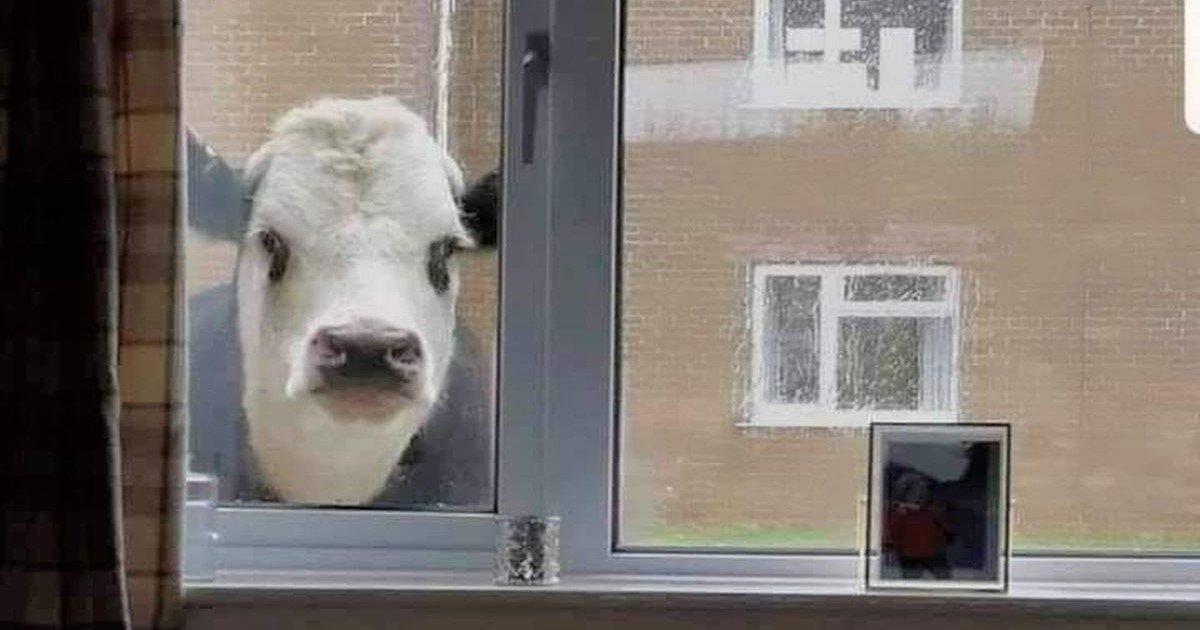 a 19.jpg?resize=412,232 - In This Neighborhood Cows Stop By Your Window To Peek Inside Every Now And Then