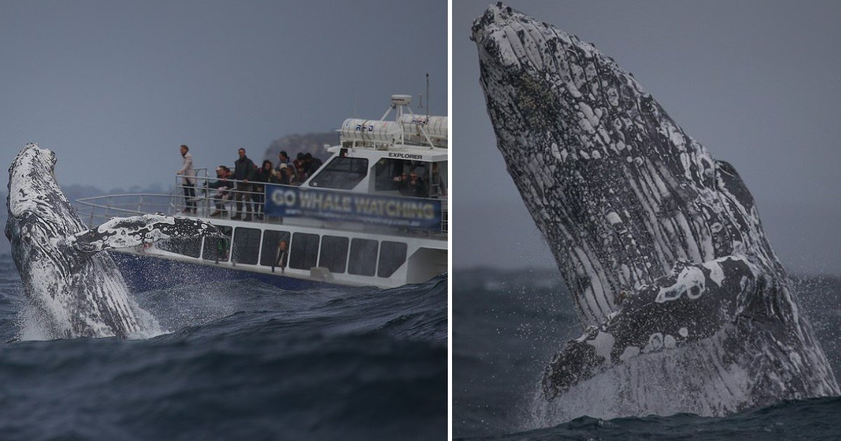 a 7.jpg?resize=1200,630 - Incredible Moment When A Massive Humpback Breached Choppy Seas Near Sydney Just Feet From Whale Watchers