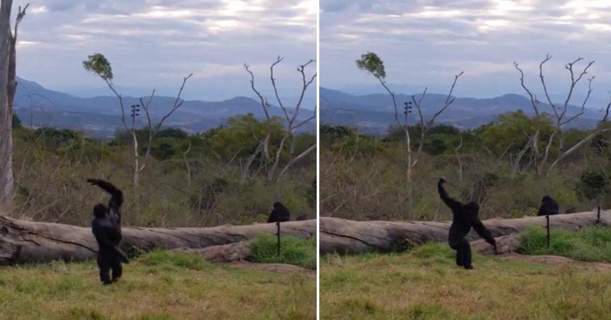 a 90.jpg?resize=412,232 - Un chimpanzé heureux se met à danser et enflamme le dance floor !