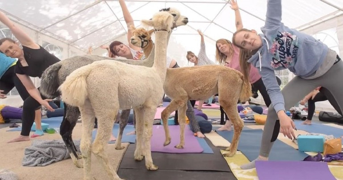 a3 4.jpg?resize=1200,630 - Yoga Instructor Teamed Up With A Farmer To Create A 'Yoga With Alpacas' Class