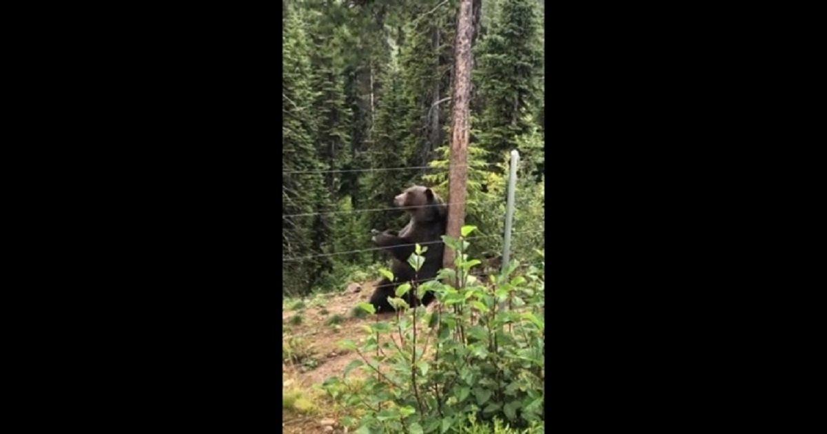 b3 1.jpg?resize=1200,630 - Boo le grizzli a été filmé en train de se gratter le dos et c'est étrangement très satisfaisant à regarder