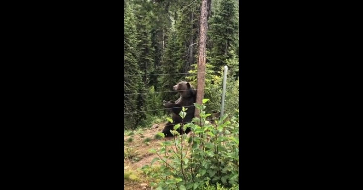 b3 1.jpg?resize=412,232 - Boo The Protected Grizzly Bear Was Filmed Scratching His Back And It's Strangely Satisfying