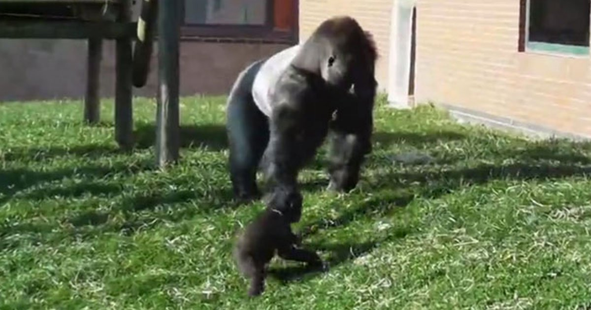 baby chimp kicked by father.jpg?resize=412,232 - Baby Gorilla Kicked By His Father In Front Of Zoo Visitors For Playing With Tree Branches