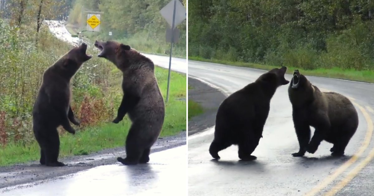 bears.png?resize=412,232 - Two Bears Fight In The Middle Of The Road While A Wolf Watches Quietly From A Distance